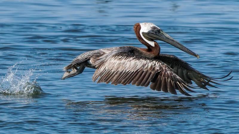 A brown pelican takes flight just off Louisiana's Queen Bess Island
