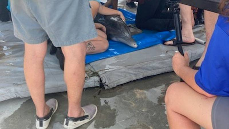 STPSO assisted with rescuing a dolphin that was trapped in a canal due to Hurricane Ida's Storm...