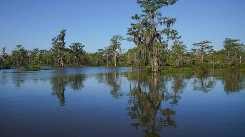 Cypress reflected in a bayou in the Atchafalaya Basin