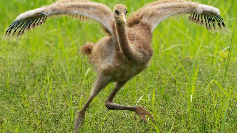 A whooping crane chick tries out its new wings at the Audubon Nature Institute Species Survival...