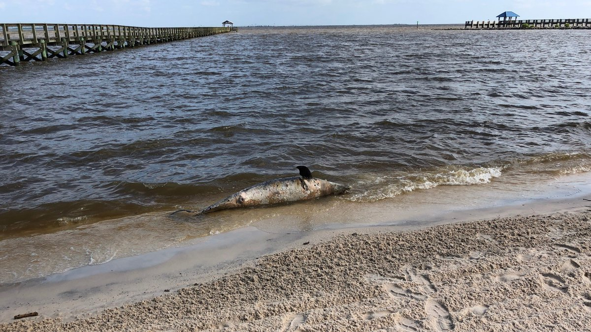 A fourth dead dolphin washed ashore Tuesday morning on Front Beach in Ocean Springs.