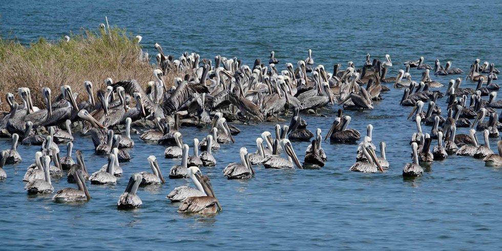 Pelicans near the shoreline along Queen Bess Island