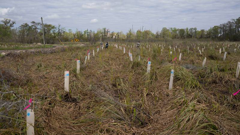 Bald cypress trees, wrapped in biodegradable material to prevent nutria damage