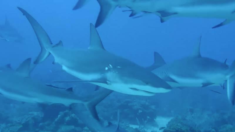 Still frame of a video of sharks near Nassau in the Bahamas