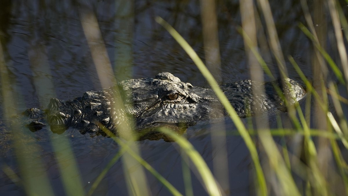 FILE - A necropsy will be performed to see if people had fed the alligator, conditioning it to...