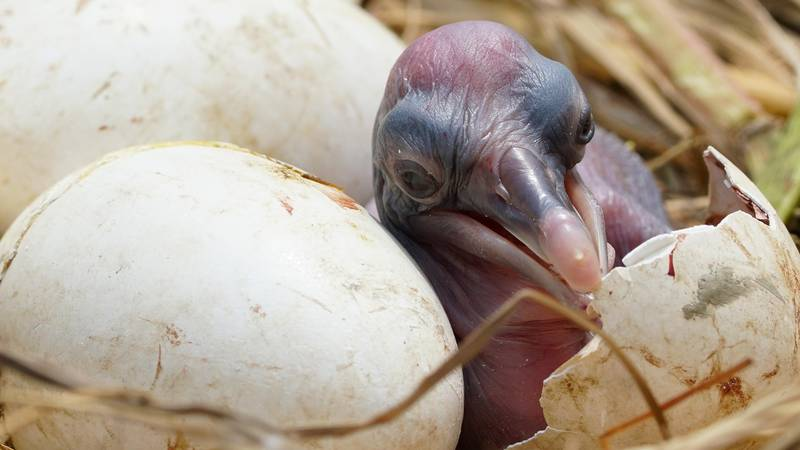 An hours-old brown pelican chick on Queen Bess Island