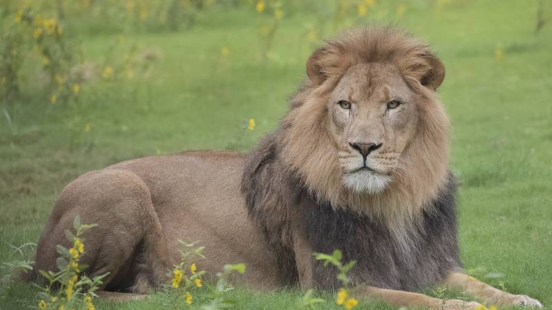 Arnold, the adult male lion at the Audubon Zoo
