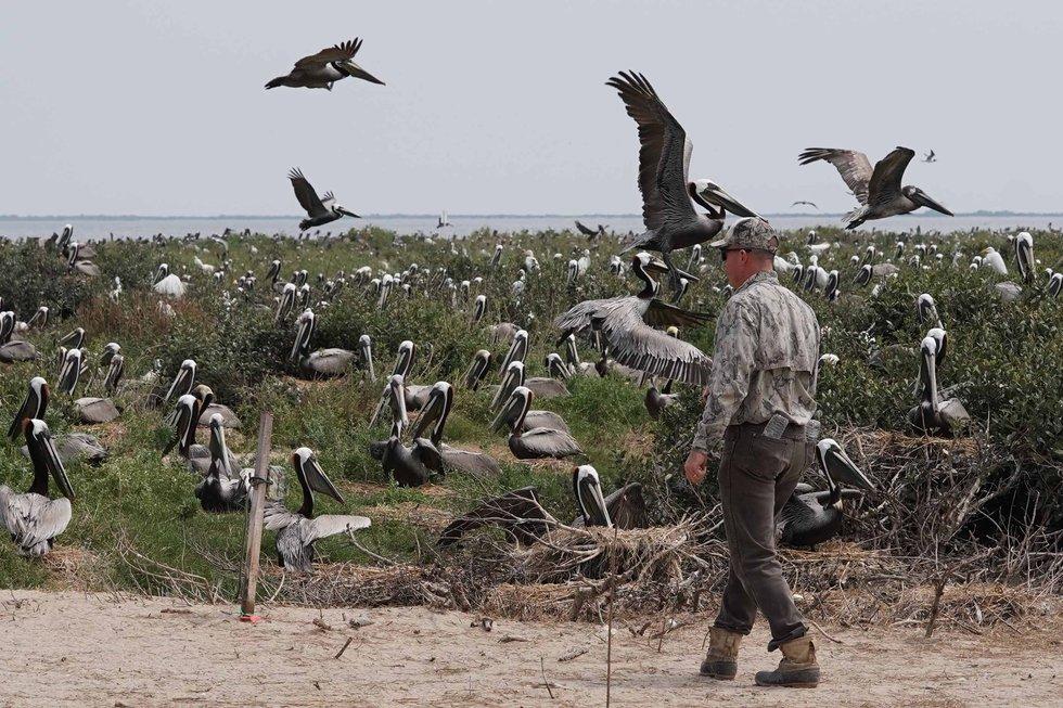 Pelicans on Queen Bess Island