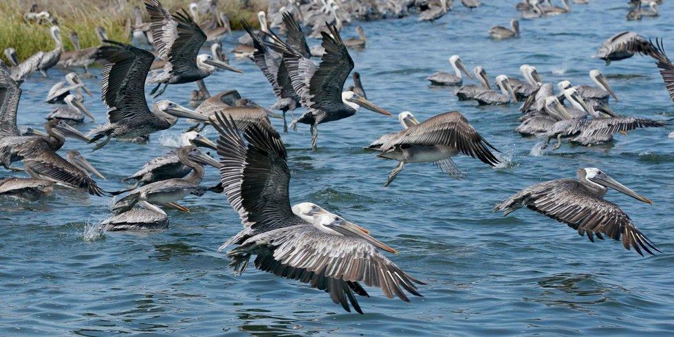 Pelicans take flight along Queen Bess Island