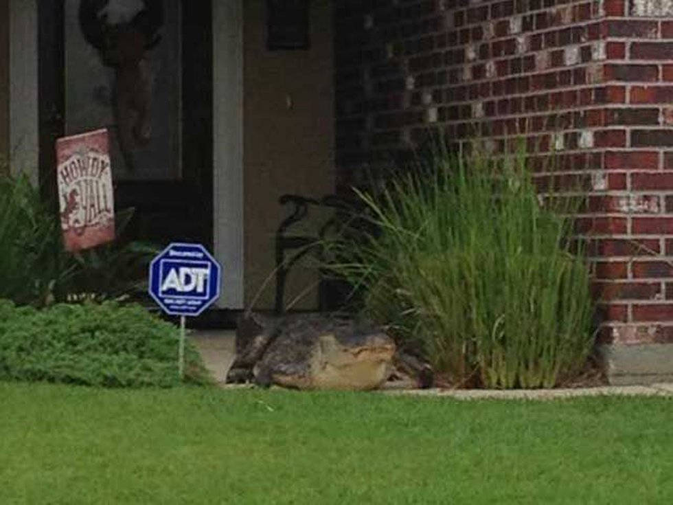 An alligator rests on the front porch of a home in a LaPlace subdivision (photo via Jodi Luna).