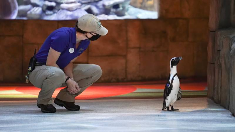 Dumpty, a six-year-old African penguin, takes a stroll with aviculturist Karis Frain at the...