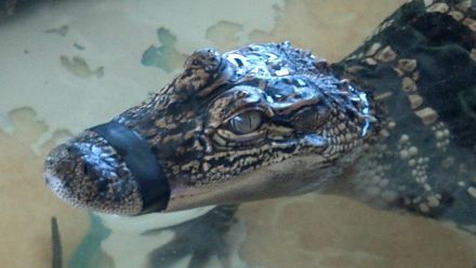 Alligator at Insta-Gator Hatchery in Covington