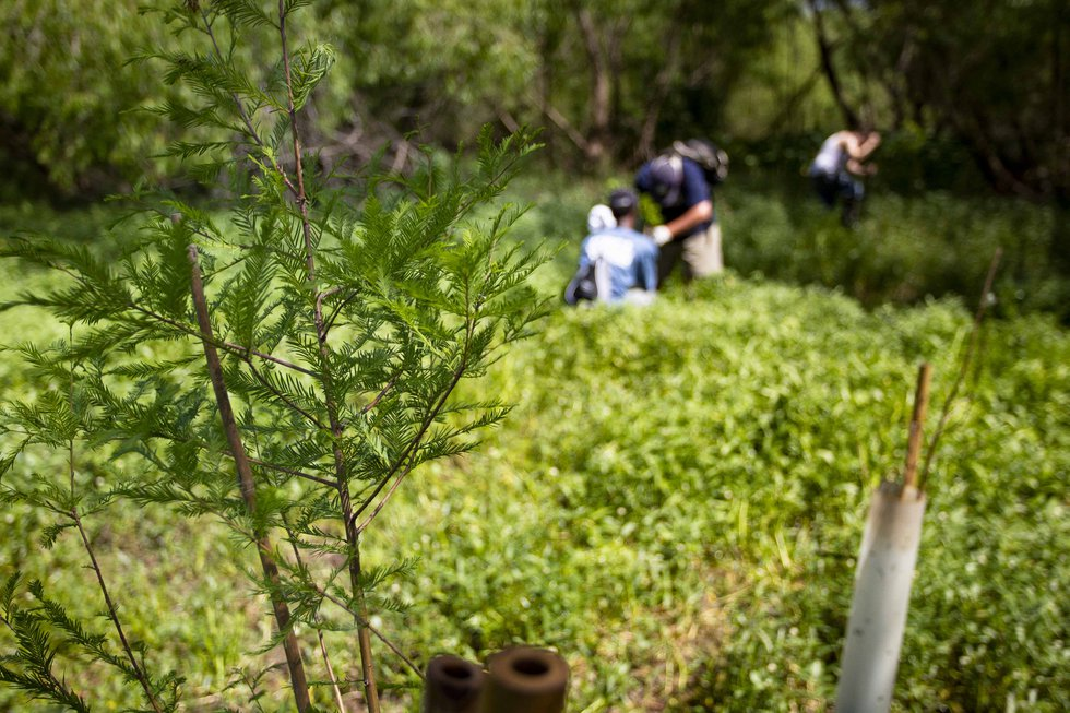 A cypress sapling, about to be planted in Big Mar on May 1, 2012