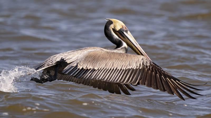 A brown pelican takes flight