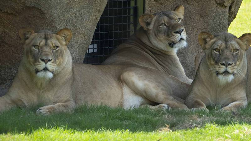 Lions at the Audubon Zoo in New Orleans